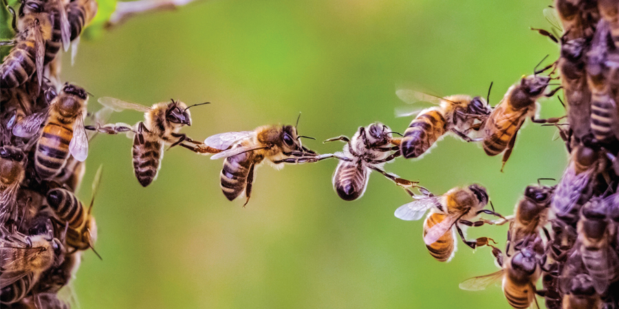 Bees reaching out to make a bridge